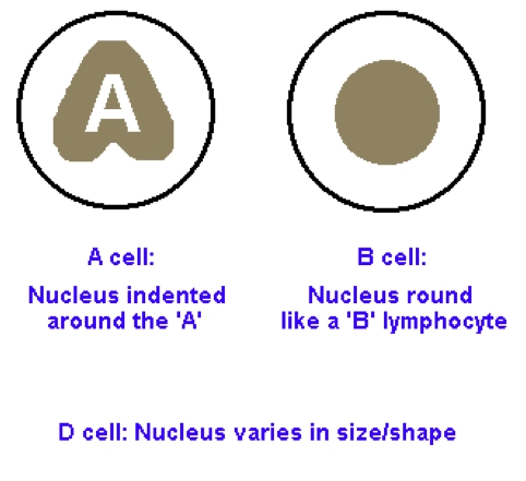 How to Easily remember Pancreatic Exocrine cells Nuclei